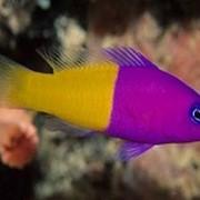 Рыбка Двуцветен пиктихромис Pictichromis фото