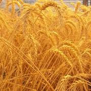 Пшеница мягкая 5-й класс фото