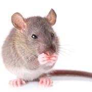 Уничтожение крыс и мышей, избавить от крыс и мышей фото