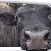 Продажа семя племенных быков фото