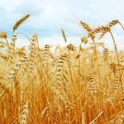 Пшеница от производителя. Низкие цены. Гарантия фото
