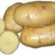 Картофель в сетках от 20 тонн фото