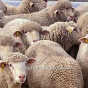 Живые овцы фото