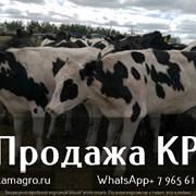 Продажа племенных пород КРС живым весом молочного  фото