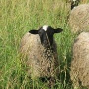 Овцы бараны фото
