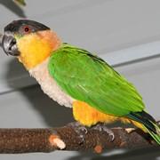 Попугай черноголовый каик фото
