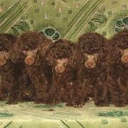 Щенки карликового пуделя коричневого окраса фото