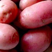 Сорт картофеля Ред Скарлетт фото