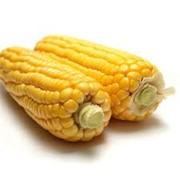 Кукуру́за са́харная