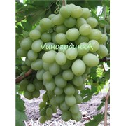 Саженцы винограда сорта Благовест фото