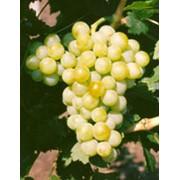 Саженцы винограда сорта Мускат жемчужный фото