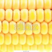Кукуруза гибридная фото