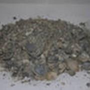 Морская(кормовая) ракушка фото