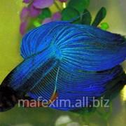 Рыбка петушок синий фото