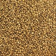 Семена кориандра (Высококачественные семена кориандра сорта Янтарь) фото