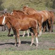 Лошади порода русский тяжеловоз фото