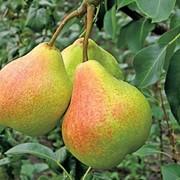Обрезка плодовых деревьев. Белая Церковь и Белоцерковский район фото