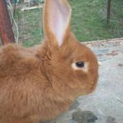 АКЦИЯ РАСПРОДАЖА Кролик племенной Новозеландский красный фото