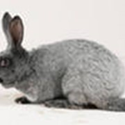 Кролики живым весом фото