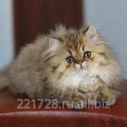Персидская золотая шиншилла фото