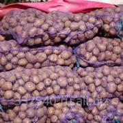 Картофель белые и красные сорта фото