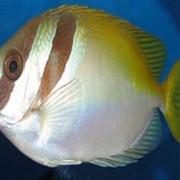 Рыба Кролик Siganus magnificus фото