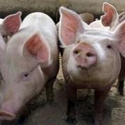 Свинина тушами фото