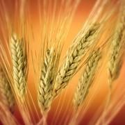Пшеница мягкая 4-й класс фото
