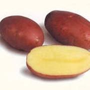 Картофель немецкий сорт Розара