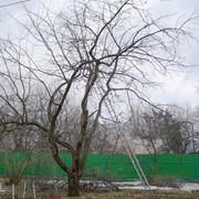 Обрезка старых деревьев фото