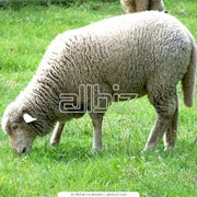 Разведение овец племенных фото
