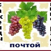 Саженцы винограда 2-х летние-почтой фото