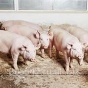 Свиньи, поросята, свиноматки. фото