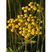 Пижма цветки (Tanacetum vulgare, flos) фото