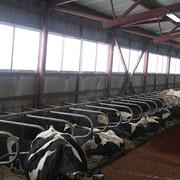 Боксы для коров фото