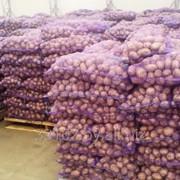 Картофель свежий продовольственный, РБ фото