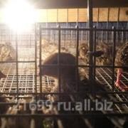 Птенцы перепелов, мясная порода Фараон. фото