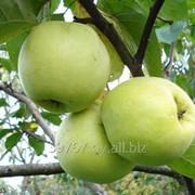 Саженцы яблонь Антоновка фото