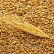 Пшеница фуражная фото