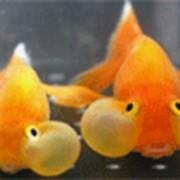 Рыбка Водяные глазки фото