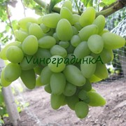 Саженцы винограда (сорт Ливия) фото
