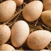 Инкубационное яйцо мускусных уток (индоуток) фото