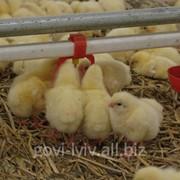 Суточные цыплята Ross-308 фото