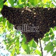 Массовая селекция пчёл фото