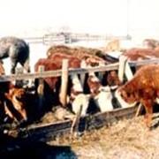 Аренда коров фото