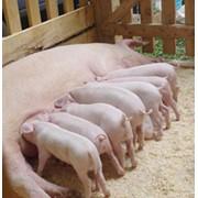 Свинина, натуральная свинина Ландрас, Большая белая, Миргородская, Дюрок фото