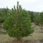 Оптовая торговля новогодними елками соснами фото
