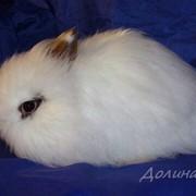Кролик карликовый декоративный фото