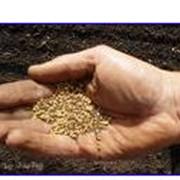 Продажа на экспорт-семена рапса, семена горчицы, семена кориандра, подсолнечник кондитерский фото