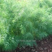 Семена укропа, Голдкрон, производитель Enza Zaden, упаковка (250 гр.) фото